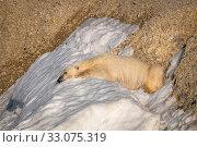 Купить «Polar bear (Ursus maritimus) resting on remainder of the summer snow, Svalbard, Norway, August.», фото № 33075319, снято 23 февраля 2020 г. (c) Nature Picture Library / Фотобанк Лори