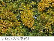 Купить «Ясень обыкновенный, или высокий (Fraxinus excelsior, European Ash) осенью», эксклюзивное фото № 33079943, снято 18 сентября 2014 г. (c) lana1501 / Фотобанк Лори