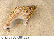 Купить «Sea shell on the shore», фото № 33088735, снято 12 июля 2020 г. (c) PantherMedia / Фотобанк Лори