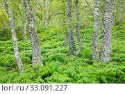 Купить «Birch forest, Craigellachie Nationwide Nature reserve, Scotland», фото № 33091227, снято 8 января 2020 г. (c) age Fotostock / Фотобанк Лори