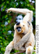 Gibbon of golden cheeks, Nomascus gabriellae. Стоковое фото, фотограф David Acosta Allely / PantherMedia / Фотобанк Лори