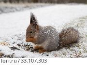 Рыжая белка ест семечки на фоне снега. Стоковое фото, фотограф Литвяк Игорь / Фотобанк Лори