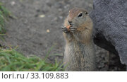 Купить «Arctic ground squirrel eating almond nut holding food in paws», видеоролик № 33109883, снято 26 октября 2019 г. (c) А. А. Пирагис / Фотобанк Лори