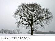 Купить «pedunculate oak in winter», фото № 33114515, снято 13 июля 2020 г. (c) PantherMedia / Фотобанк Лори