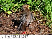 Купить «blackbird dries its feathers after the bathing», фото № 33121527, снято 22 февраля 2020 г. (c) PantherMedia / Фотобанк Лори