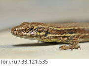 closeup of a sand lizard. Стоковое фото, фотограф Andreas Zieher / PantherMedia / Фотобанк Лори