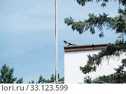 Купить «Красивая сорока сидит на крыше на фоне неба перед елью», эксклюзивное фото № 33123599, снято 3 августа 2020 г. (c) Кузин Алексей / Фотобанк Лори