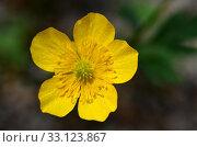 Купить «Creeping Buttercup flower», фото № 33123867, снято 18 февраля 2020 г. (c) PantherMedia / Фотобанк Лори