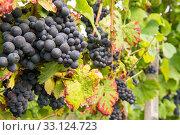 grapes. Стоковое фото, фотограф Michael Rosenwirth / PantherMedia / Фотобанк Лори
