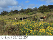 kuhweide easter island. Стоковое фото, фотограф roland brack / PantherMedia / Фотобанк Лори