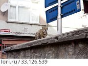 The Cats of Istanbul 16. Стоковое фото, фотограф Harald Schottner / PantherMedia / Фотобанк Лори
