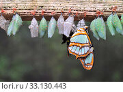 Купить «Rows of butterfly cocoons», фото № 33130443, снято 8 апреля 2020 г. (c) PantherMedia / Фотобанк Лори