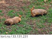 Купить «prairie dog rodents feeding on grass», фото № 33131231, снято 1 июня 2020 г. (c) PantherMedia / Фотобанк Лори