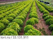 Rows of harvest of green lettuce in garden outdoor. Стоковое фото, фотограф Яков Филимонов / Фотобанк Лори