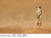 Купить «Meerkat on guard», фото № 33132451, снято 5 августа 2020 г. (c) PantherMedia / Фотобанк Лори