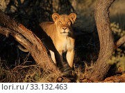 Купить «Lioness (Panthera leo) in natural habitat,  South Africa.», фото № 33132463, снято 29 марта 2020 г. (c) PantherMedia / Фотобанк Лори