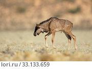 Blue wildebeest calf. Стоковое фото, фотограф Nico Smit / PantherMedia / Фотобанк Лори