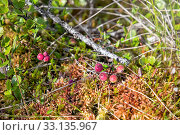 Купить «Клюква растет на болоте», фото № 33135967, снято 10 августа 2019 г. (c) Наталья Осипова / Фотобанк Лори