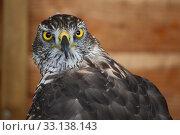 Купить «portrait of a magnificent raptor», фото № 33138143, снято 4 августа 2020 г. (c) PantherMedia / Фотобанк Лори