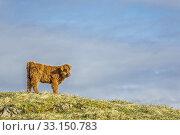 Купить «Highland cattle», фото № 33150783, снято 22 февраля 2020 г. (c) PantherMedia / Фотобанк Лори