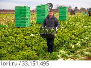 Купить «Worker harvests lettuce on peasant farm», фото № 33151495, снято 30 марта 2020 г. (c) Яков Филимонов / Фотобанк Лори