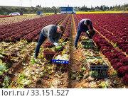 Купить «Farmers harvesting red leaf lettuce», фото № 33151527, снято 5 августа 2020 г. (c) Яков Филимонов / Фотобанк Лори