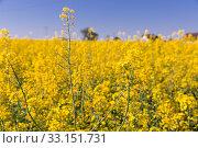 Picture of rape seed flowers field at sunny day, landscape. Стоковое фото, фотограф Яков Филимонов / Фотобанк Лори