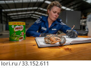 Wildlife Officer ?Abby Smith, from the Department of Land, Water and Planning (DEWLP) with an illegally traded Goldfields Shingleback Lizard (Tiliqua rugosa... Редакционное фото, фотограф Doug Gimesy / Nature Picture Library / Фотобанк Лори