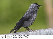 Купить «jackdaw (corvus moledula)», фото № 33156767, снято 31 мая 2020 г. (c) PantherMedia / Фотобанк Лори