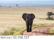 Купить «elephant walking in the savanna», фото № 33158727, снято 6 июля 2020 г. (c) PantherMedia / Фотобанк Лори