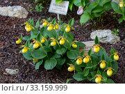 Купить «Орхидея Венерин башмачок (Cypripedium macranthon)», фото № 33159999, снято 24 мая 2019 г. (c) Ольга Сейфутдинова / Фотобанк Лори