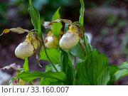 Купить «Орхидея Венерин башмачок (Cypripedium macranthon)», фото № 33160007, снято 24 мая 2019 г. (c) Ольга Сейфутдинова / Фотобанк Лори