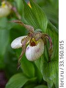 Купить «Орхидея Венерин башмачок (Cypripedium macranthon)», фото № 33160015, снято 24 мая 2019 г. (c) Ольга Сейфутдинова / Фотобанк Лори