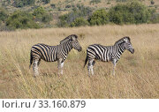 Купить «zebra in the savanna», фото № 33160879, снято 6 июля 2020 г. (c) PantherMedia / Фотобанк Лори
