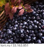 Купить «european blueberry», фото № 33163851, снято 27 мая 2020 г. (c) PantherMedia / Фотобанк Лори