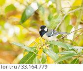 Купить «Great Tit bird sitting on a tree branch», фото № 33164779, снято 26 февраля 2020 г. (c) PantherMedia / Фотобанк Лори