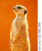 Купить «Meerkat,Meerkat,Meerkat,Meerkat», фото № 33166399, снято 5 августа 2020 г. (c) PantherMedia / Фотобанк Лори