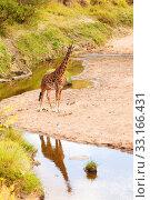 Купить «Giraffe in Masai Mara,Giraffe in Masai Mara,Giraffe in Masai Mara,Giraffe in Masai Mara», фото № 33166431, снято 21 февраля 2020 г. (c) PantherMedia / Фотобанк Лори