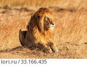 Купить «Male lion in Masai Mara,Male lion in Masai Mara,Male lion in Masai Mara,Male lion in Masai Mara», фото № 33166435, снято 29 мая 2020 г. (c) PantherMedia / Фотобанк Лори
