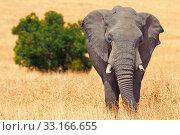 Купить «Elephant in Masai Mara,Elephant in Masai Mara,Elephant in Masai Mara,Elephant in Masai Mara», фото № 33166655, снято 21 февраля 2020 г. (c) PantherMedia / Фотобанк Лори