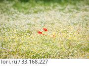 Купить «Poppy flowers on a chamomile meadow», фото № 33168227, снято 31 мая 2020 г. (c) PantherMedia / Фотобанк Лори