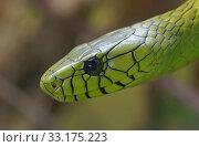 green mamba - [dendroaspis viridis] Стоковое фото, фотограф Robert Rüf / PantherMedia / Фотобанк Лори