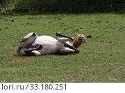 Przewalski horses. Стоковое фото, фотограф Martina Berg / PantherMedia / Фотобанк Лори