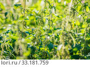 Купить «Nettle herbs in the nature», фото № 33181759, снято 31 мая 2020 г. (c) PantherMedia / Фотобанк Лори