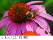 Купить «Echinacea purpurea purple coneflower flower», фото № 33182887, снято 9 июля 2020 г. (c) PantherMedia / Фотобанк Лори