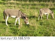 Bretagne-Esel, Eselrasse. Стоковое фото, фотограф Manfred Ruckszio / PantherMedia / Фотобанк Лори
