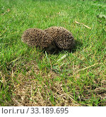 ailing,  animal,  common,  diseases,  domestic,  environment,  garden,  grass,  hedgehog,  illness,  mammal,  nature,  new,  nocturnal,  nzl,  physical,  prickly,  rodent,  sick,  spiny,  suffer,  walking,  wild,  wildlife,  zealand. Стоковое фото, фотограф marina kuchenbecker / PantherMedia / Фотобанк Лори