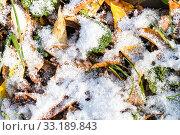 Купить «fallen leaves and green grass under first snow», фото № 33189843, снято 9 апреля 2020 г. (c) PantherMedia / Фотобанк Лори
