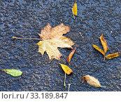 Купить «fallen leaves in melting first snow in autumn», фото № 33189847, снято 9 апреля 2020 г. (c) PantherMedia / Фотобанк Лори