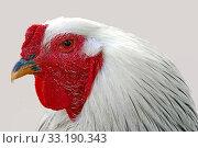 Купить «head study of white cochin rooster», фото № 33190343, снято 31 мая 2020 г. (c) PantherMedia / Фотобанк Лори